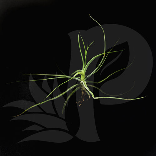 Tillandsia schiedeana, beautiful airplant for sale