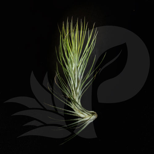 Tillandsia funckiana (small), beautiful airplant for sale