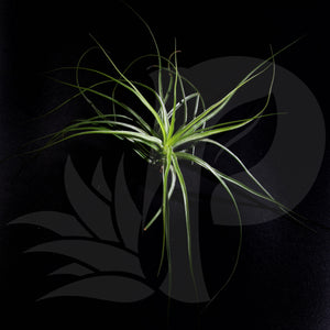 Tillandsia stricta (small), beautiful airplant for sale