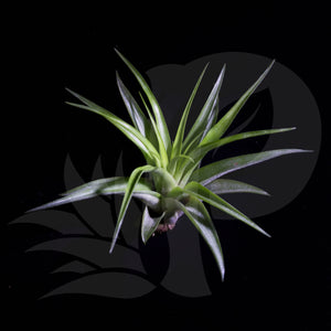 Tillandsia brachycaulos (small) beautiful airplant for sale