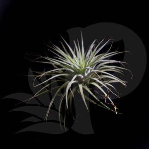 Tillandsia ionantha, beautiful airplant for sale