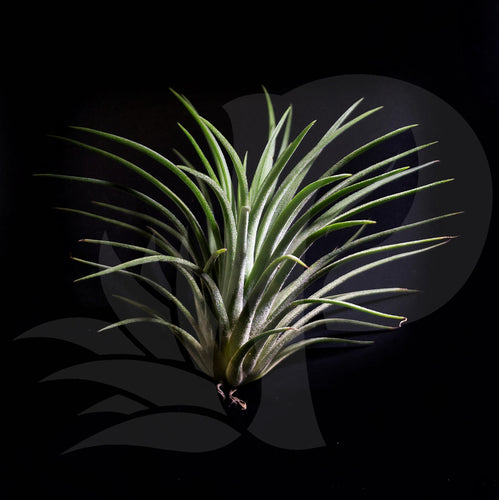 Tillandsia ionantha Rubra (small), beautiful airplant for sale