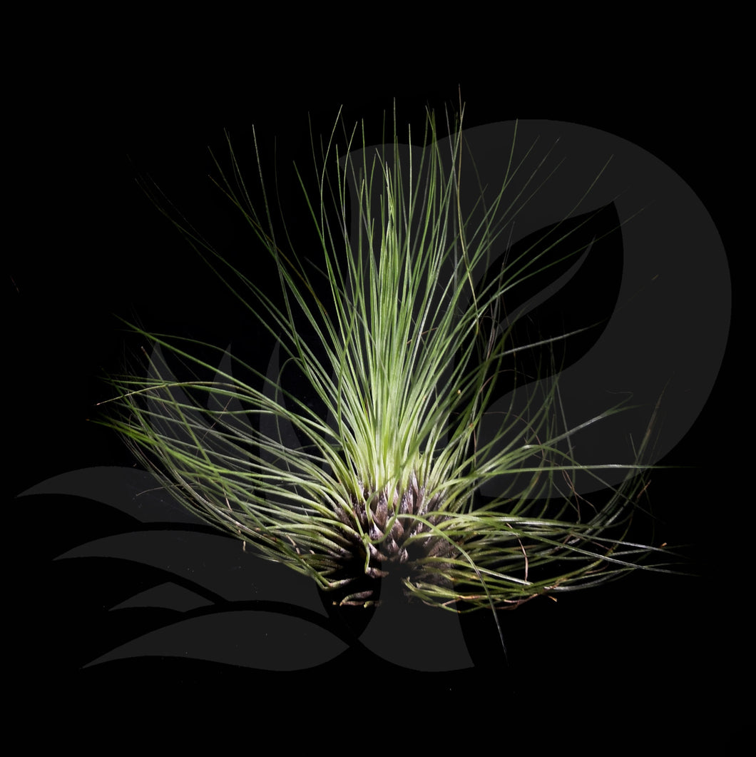 Tillandsia filifolia, beautiful airplant for sale