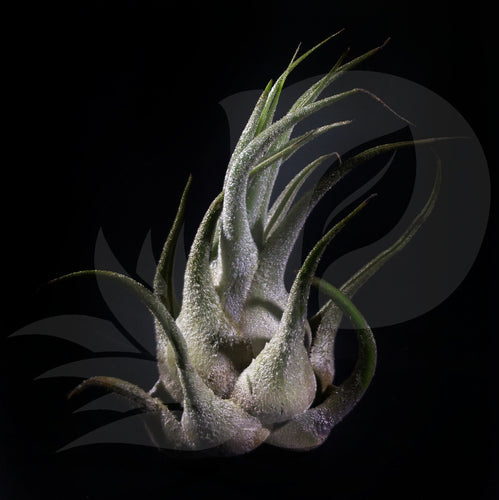 Tillandsia seleriana, beautiful airplant for sale