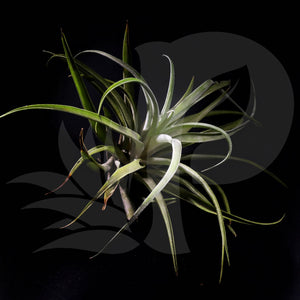 Tillandsia capitata 'peach' (Small), beautiful airplant for sale