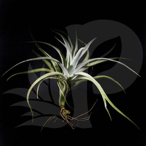 Tillandsia harrisii (small), beautiful airplant for sale