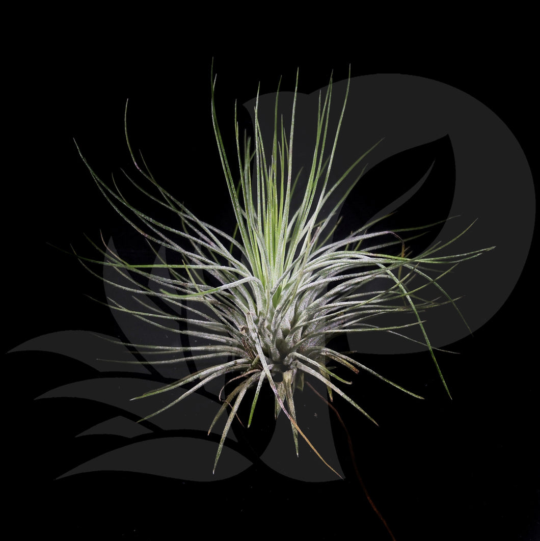 Tillandsia andreana (Small) beautiful airplant for sale