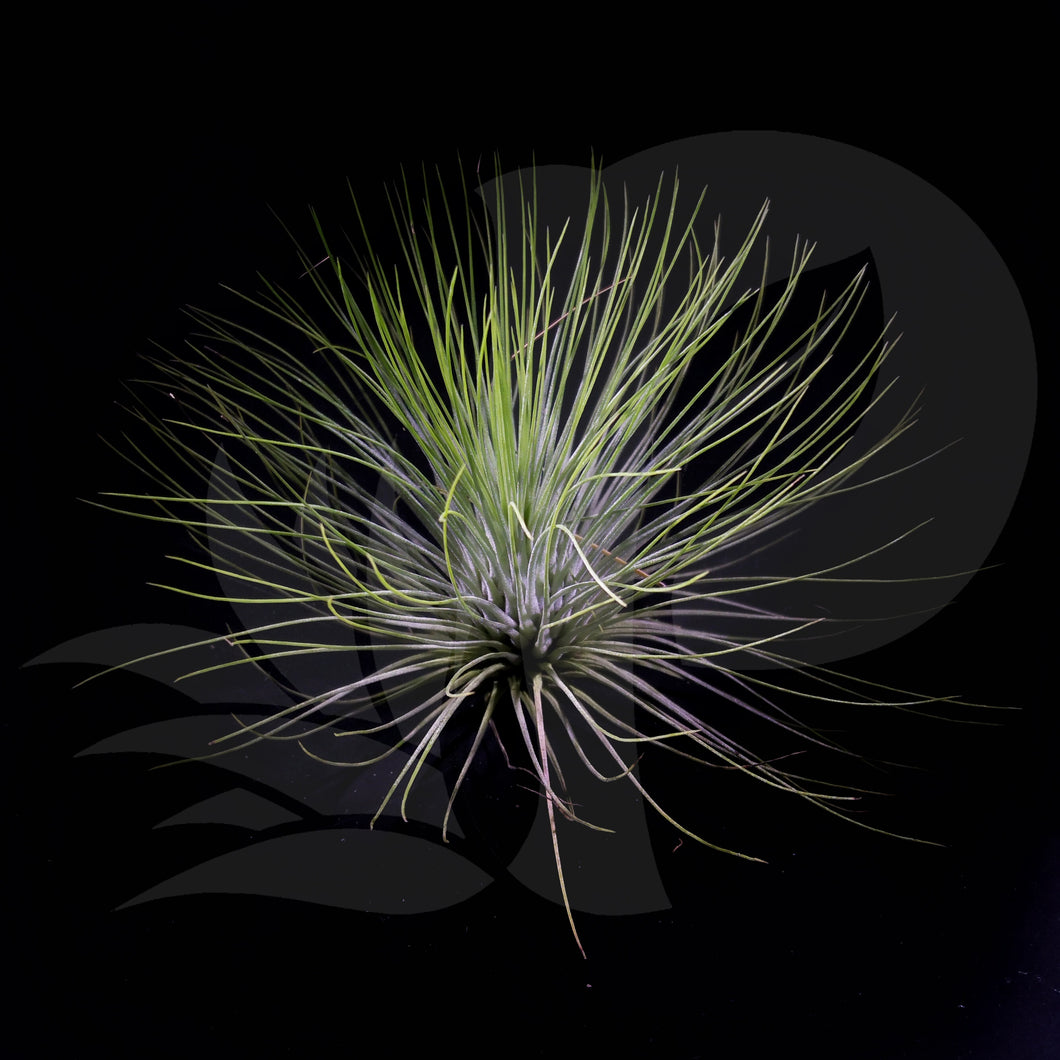 Tillandsia andreana (Big) beautiful airplant for sale