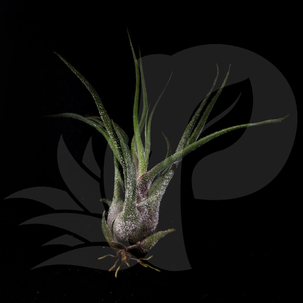 Tillandsia pruinosa, beautiful airplant for sale