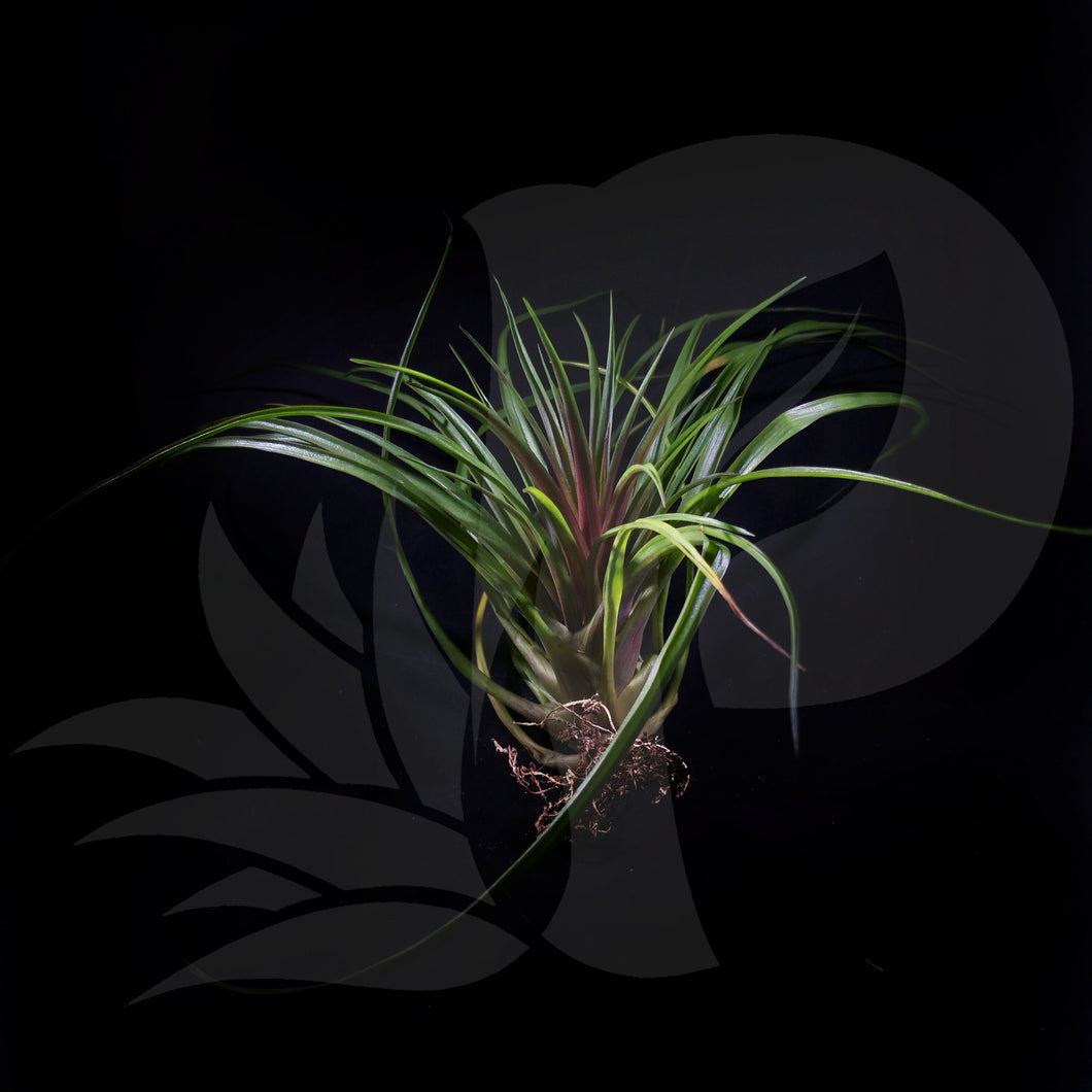 T. cyanea (big), beautiful airplant for sale