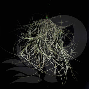 Tillandsia 'Kimberly' (usneoides x recurvata) long leaves airplant for sale