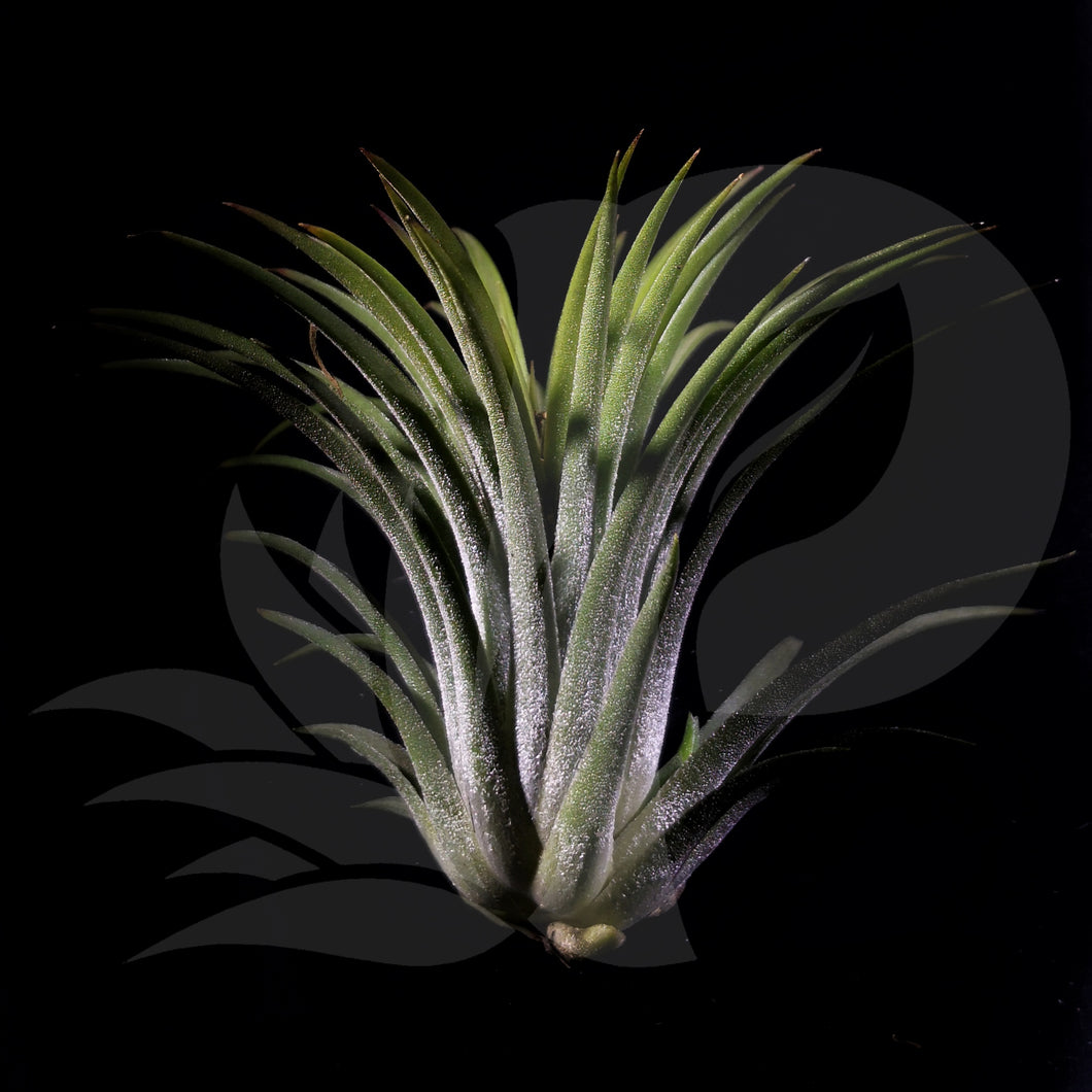 Tillandsia ionantha Rubra (big), beautiful airplant for sale