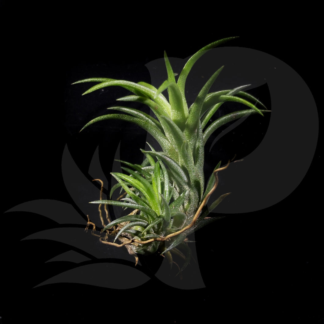 Tillandsia neglecta clump, beautiful airplant for sale
