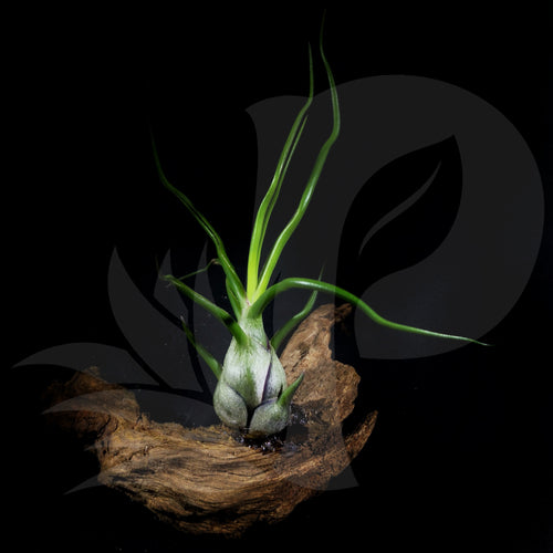 Tillandsia bulbosa (On Driftwood) beautiful airplant for sale