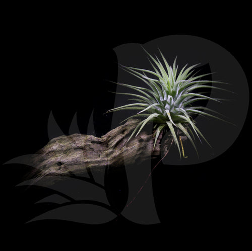 Tillandsia ionantha (on driftwood), beautiful airplant with accessory for sale