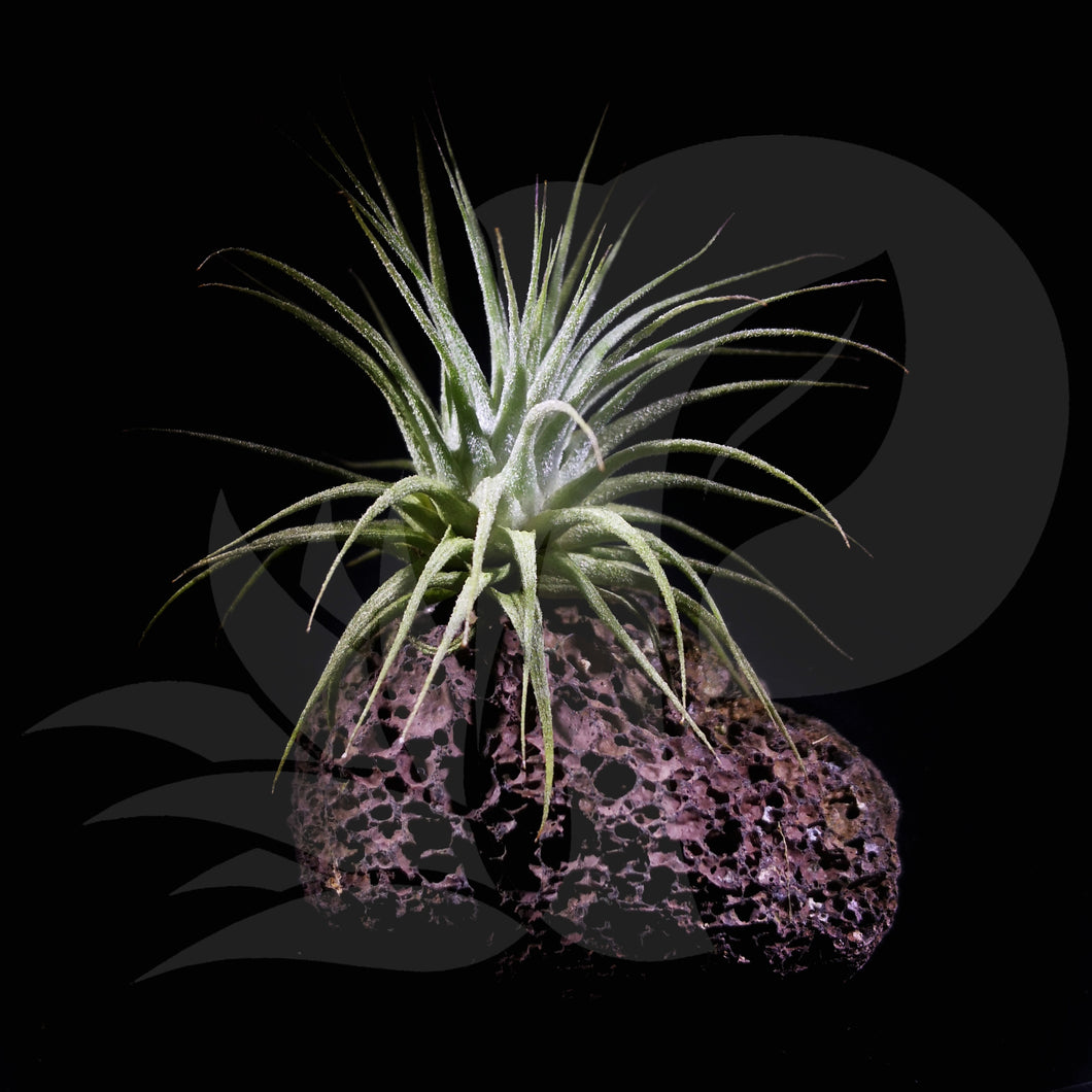 Tillandsia ionantha (on rock), beautiful airplant for sale