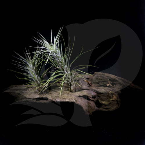 Tillandsia funckiana (on driftwood), beautiful airplant with accessory for sale