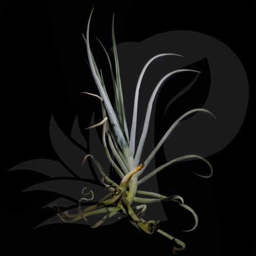 T. duratii (Medium), beautiful airplant for sale