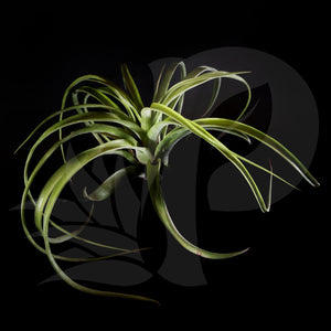 T. eric knobloch, beautiful airplant for sale