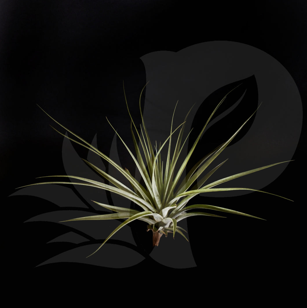 T. espinosae Large form, beautiful airplant for sale