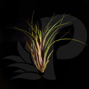 T. Timm's Outburst (capitata domingensis x ionantha Fuego), beautiful airplant for sale