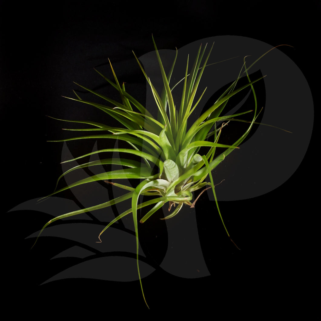 Tillandsia brachycaulos minata beautiful airplant for sale