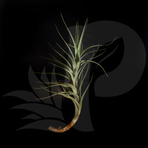 Tillandsia Bergeri Hybrid beautiful airplant for sale
