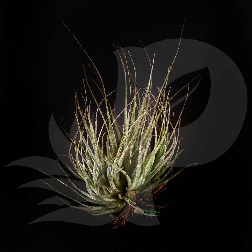 T. ehlersiana clump mini, beautiful airplant for sale