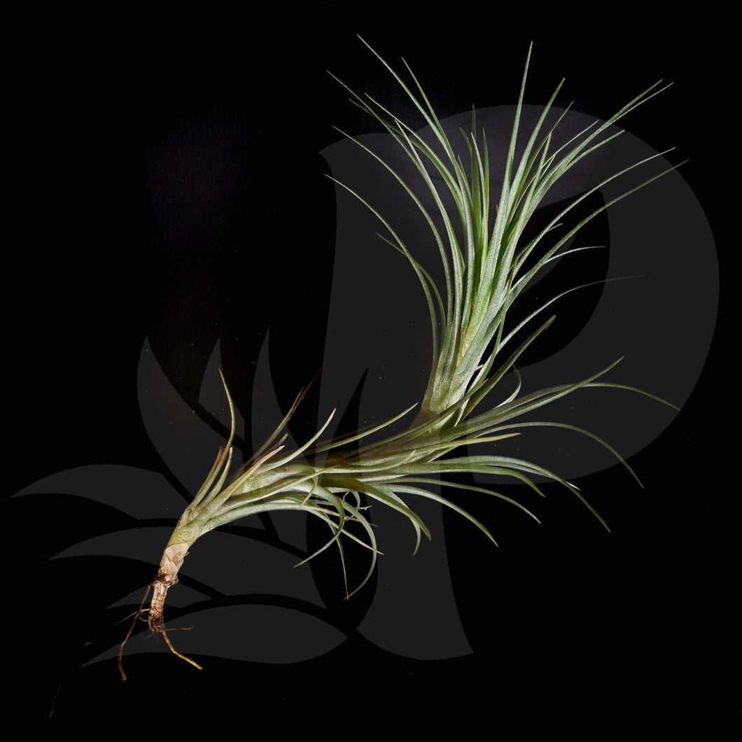 Tillandsia Arauja Closed Form beautiful airplant for sale