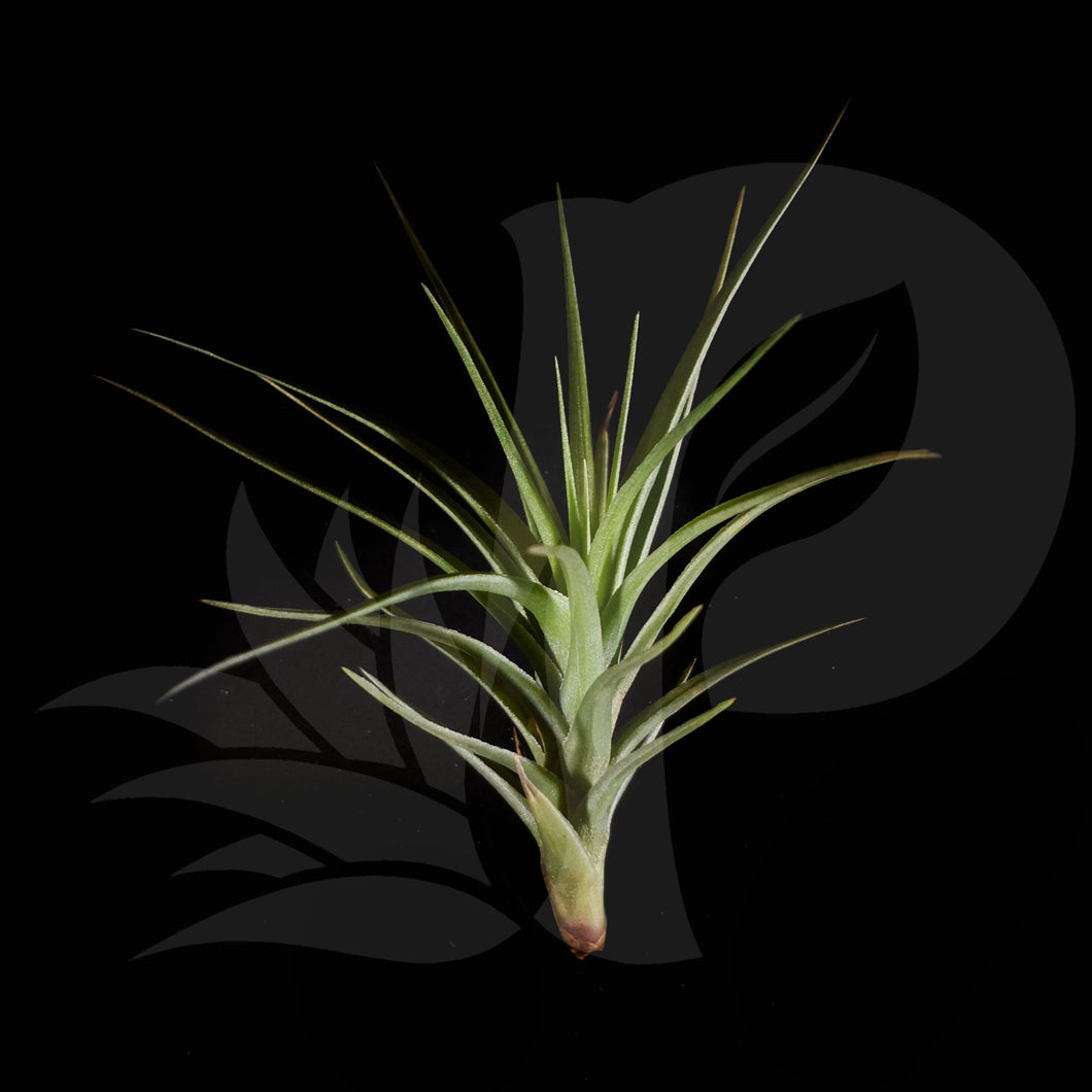 Tillandsia Flamingo Redux (aeranthos x tenuifolia), beautiful airplant for sale
