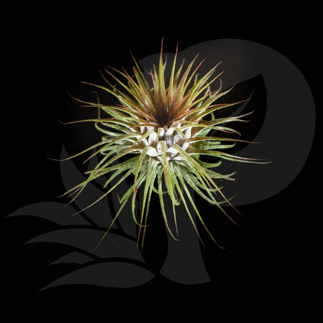Tillandsia ionantha Rosita, beautiful airplant for sale