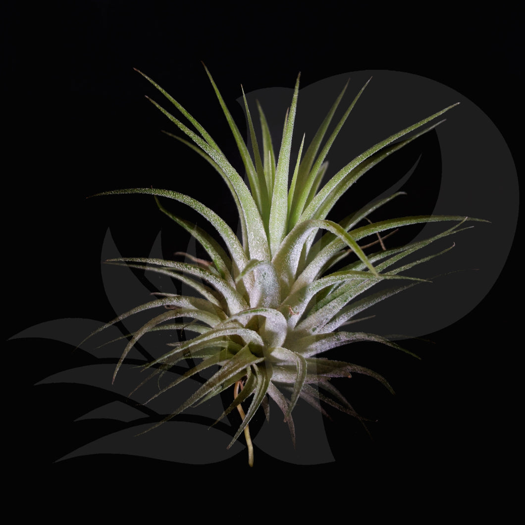 Tillandsia ionantha Huamelula, beautiful airplant for sale