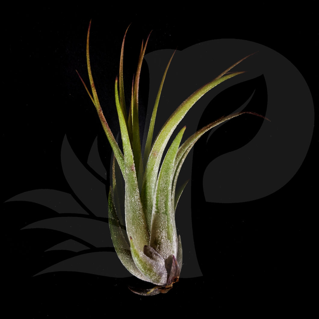 Tillandsia kolbii, beautiful airplant for sale
