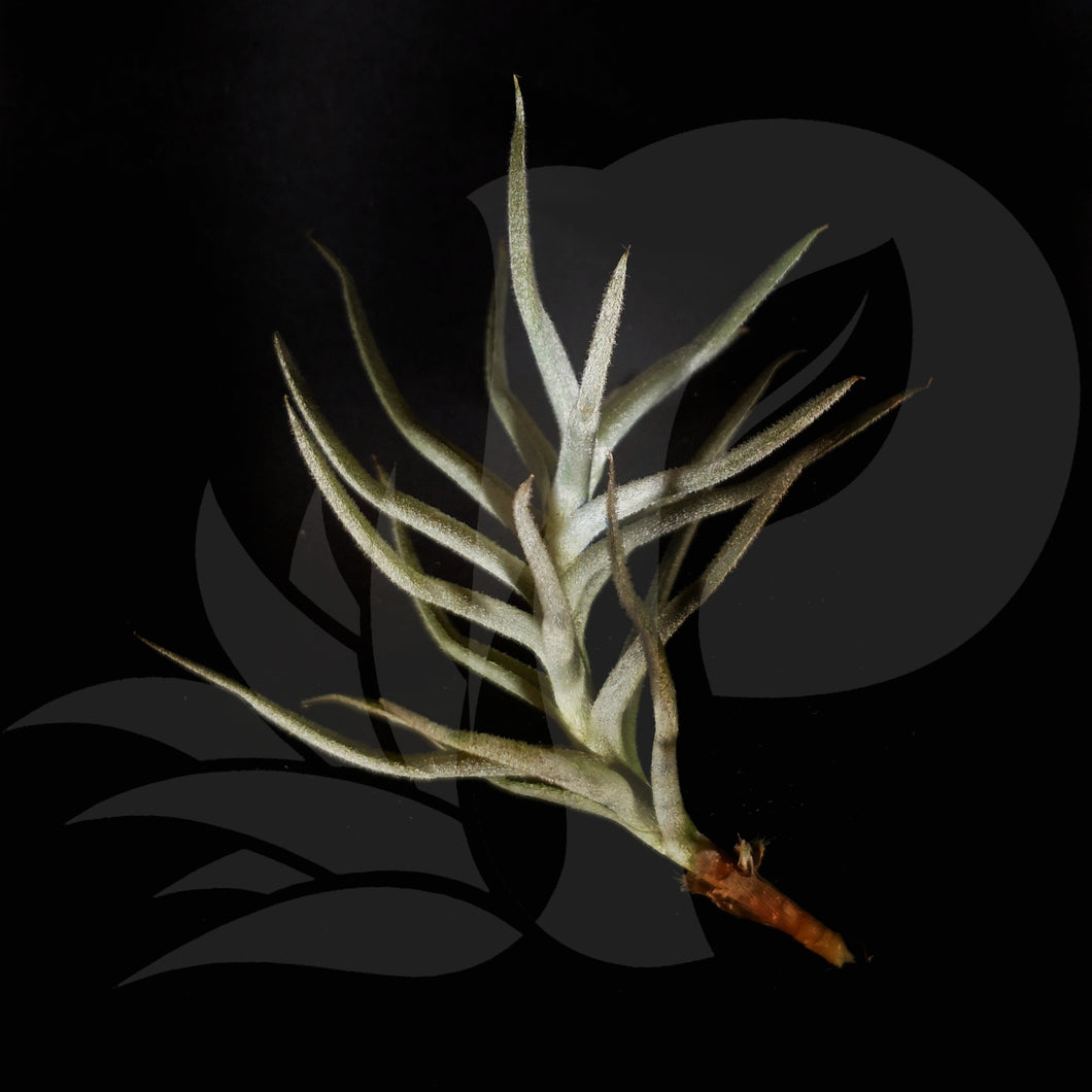 Tillandsia paleacea, beautiful airplant for sale