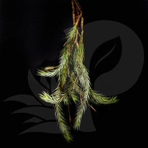 Tillandsia tricholepis, beautiful airplant for sale