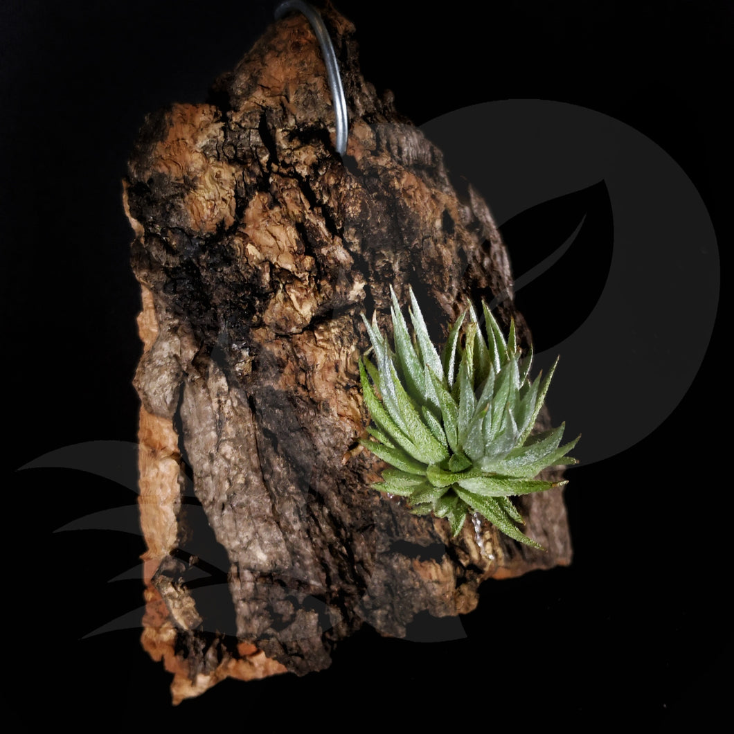 Tillandsia loliacea on drift wood, beautiful airplant with accessory for sale