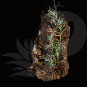 Tillandsia capillaris pitchfork on rock, beautiful airplant for sale