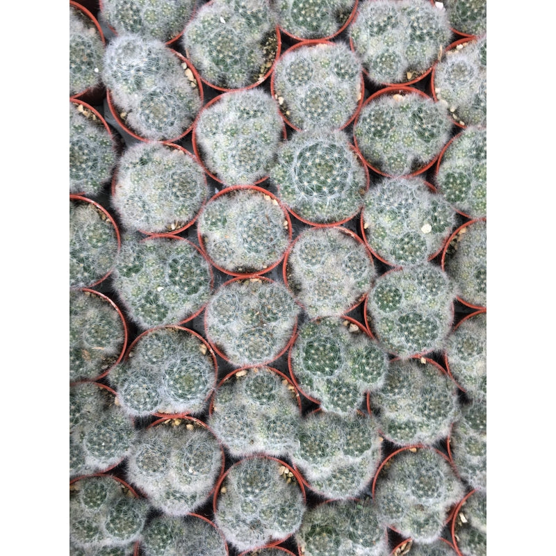 A group of cactus