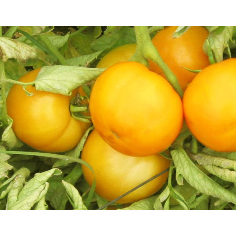 Yellow Cherry Tomatoes Hand Cut in Halves by Gentile - 34.2 oz