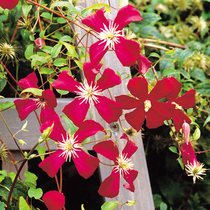 Clematis Garden Article
