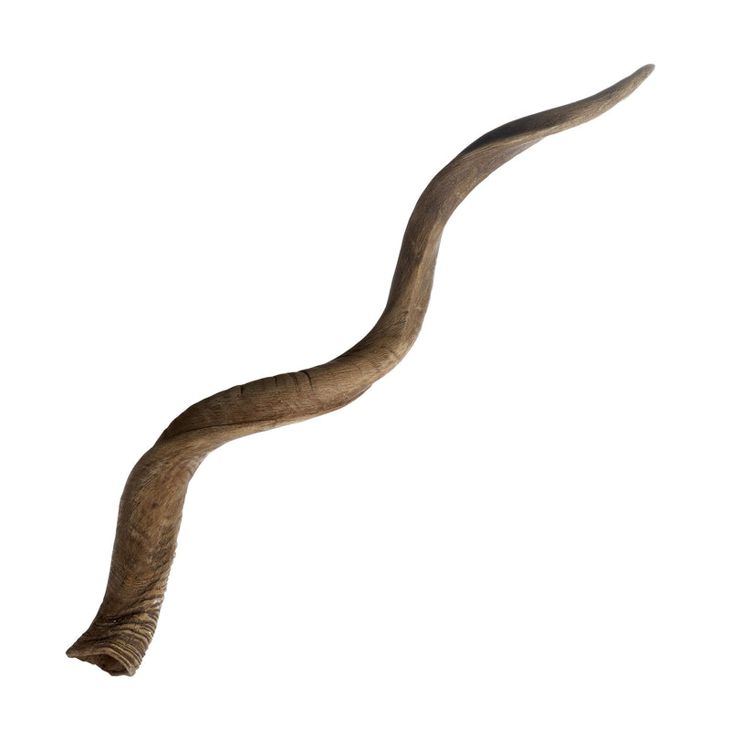 Blonde Curved Kudu Horn. Brown