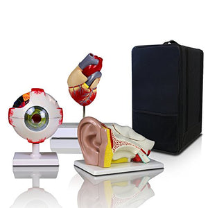 On Sale for New Bundle!!! Parco Scientific Elementary + High School Learning Package. Set of Three Human Anatomy Models, Ears, Eye, and Heart with Carrying Case(Regular Price:168) )