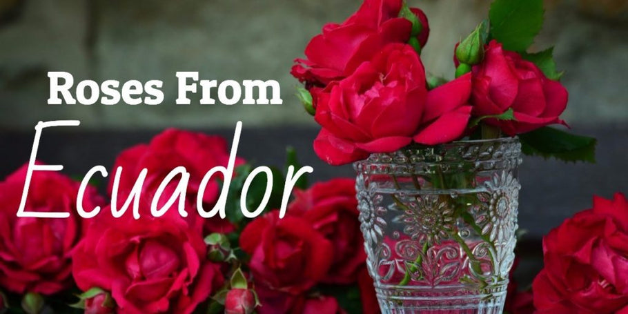 Why The Best Roses Come From Ecuador