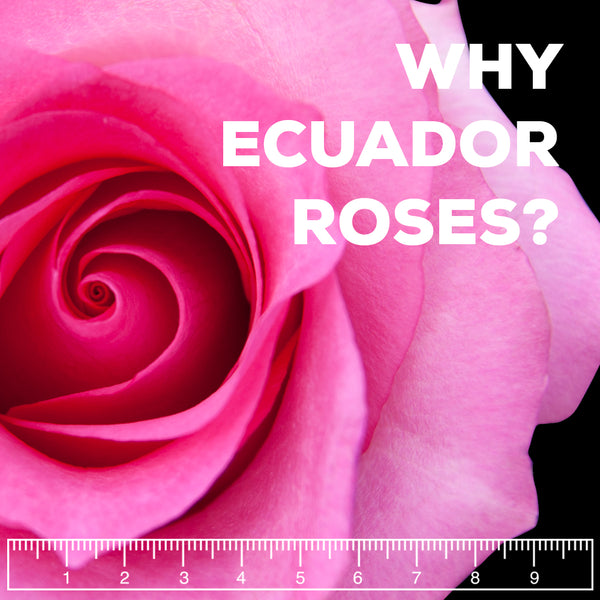 Why Ecuadorian Roses Are The Best In The World