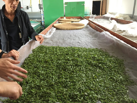 Xiang Dingshan checking freshly harvested leaves