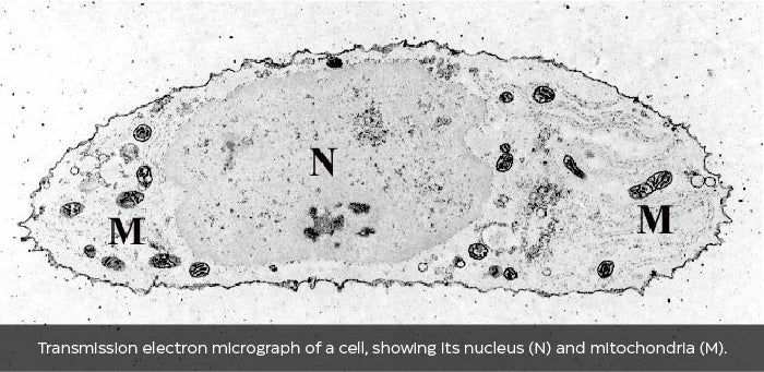 Transmission electron micrograph of a cell, showing its nucleus (N) and mitochondria (M).