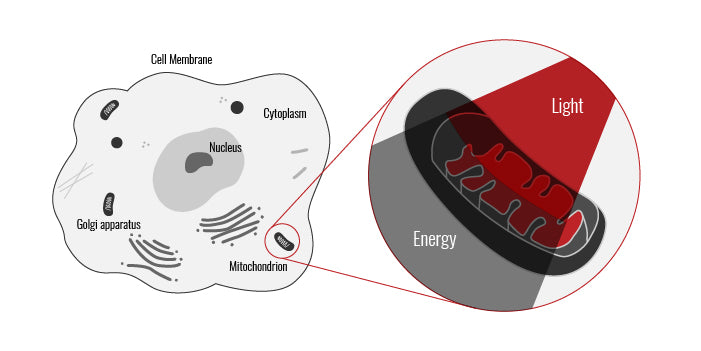 mitochondria receiving energy from red light