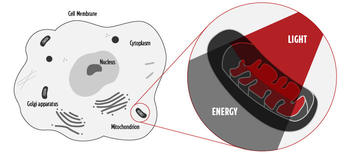 Diagram of cell showing Mitochondria