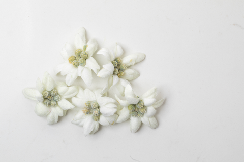 White edelweiss flowers on white background