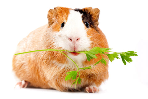 Guinea pig with parsley in its mouth that is cruelty free